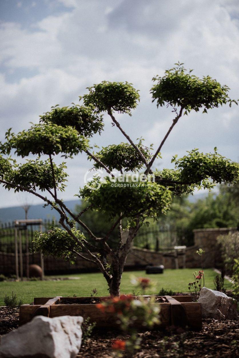 deren-w-ogrodzie-bonsai