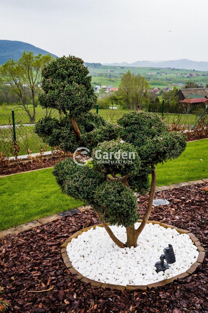 drzewko-formowane-bonsai