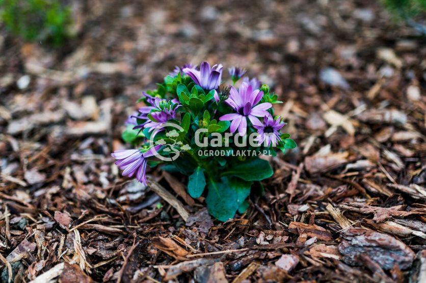 fioletowy-kwiatek-w-korze