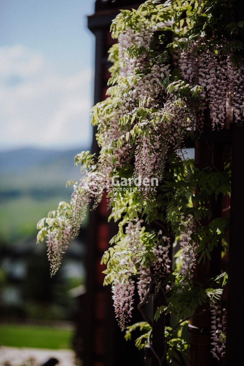 pnacze-wisteria